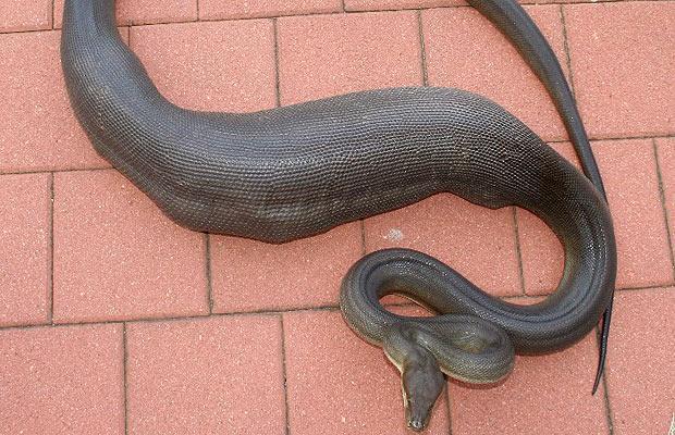 serpiente piton olivo comido perro