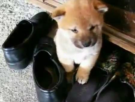 shiba inu cachorrito perrito