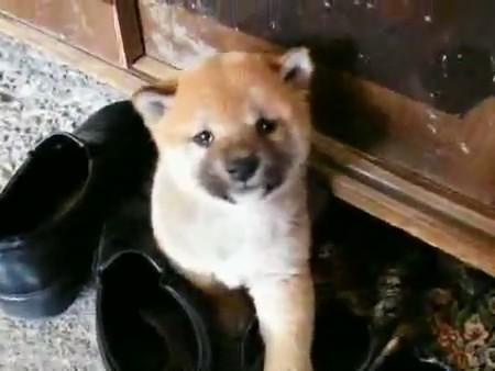 shiba inu cachorrito perro