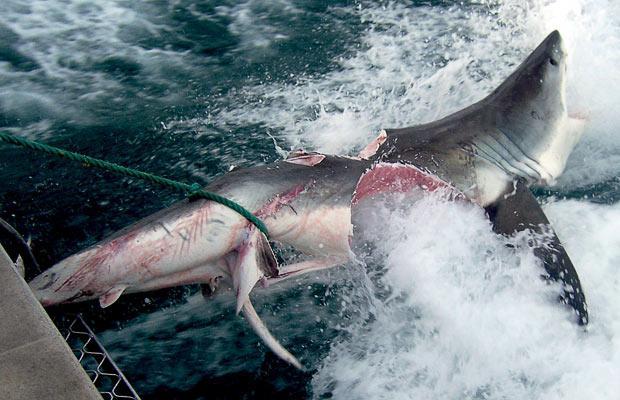 tiburon blanco medio morisqueado mitad