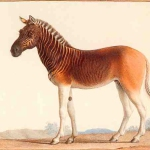 Animales extintos: Quagga (medio cebra, medio caballo) (desde 1883)