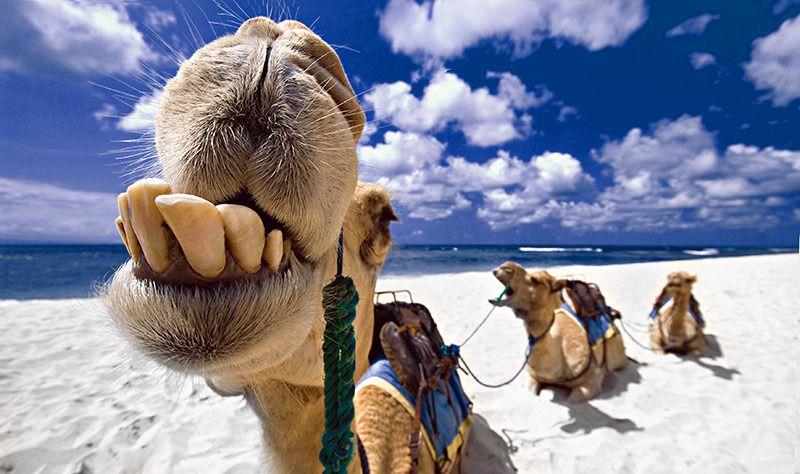 animales-graciosos-camello-sonriendo