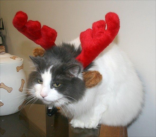 animales-graciosos-gato-navideno