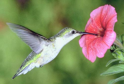 colibri-libando-flor