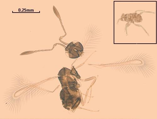 dicopomorpha-echmepterygis-animal-pequeno-volador