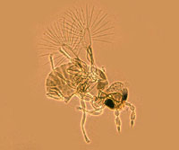 dicopomorpha-echmepterygis-hembra