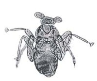 dicopomorpha-echmepterygis-macho-avispa
