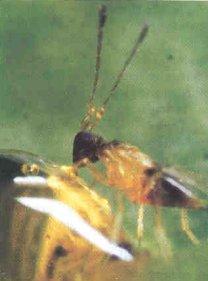 dicopomorpha-echmepterygis