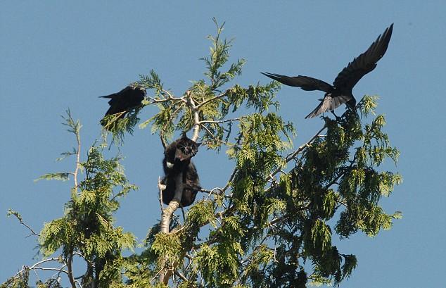 gata gato negro arbol cuervos