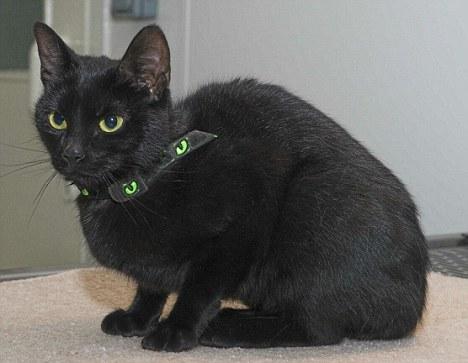 gata negra cabeza atrapada bote whiskas