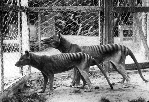 thyalicine-wolf-tasmanian-Tiger-Tassle-Tazzy