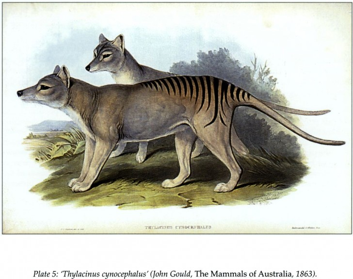 thylacine cynocephalus tasmanian tiger extinct animal