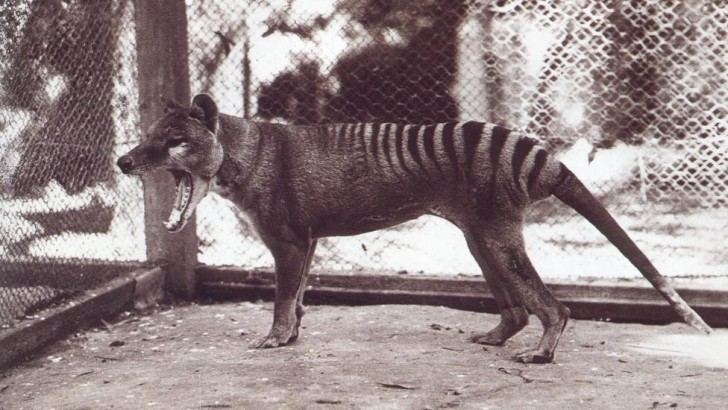 thylacine tasmanian tiger extinct animal extincted