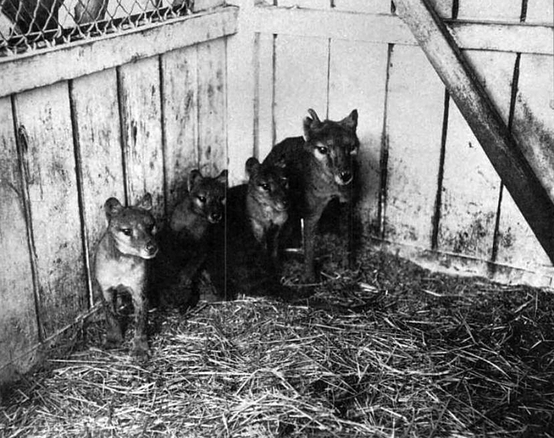 thylacine tasmanian tiger extinct animal litter