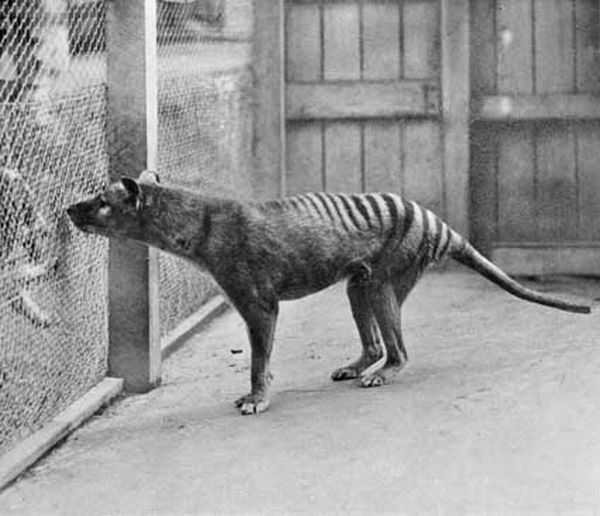 thylacine tasmanian tiger extinct animal marsupial