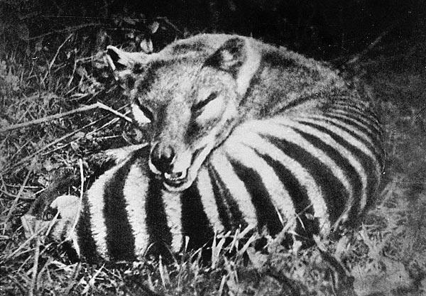 thylacine tasmanian tiger marsupial australia