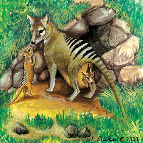tilacino cynocephalus tigre tasmania animal extinguido