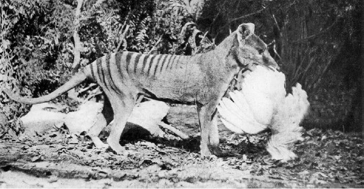 tilacino tigre tasmania animal extinto cazando muerto