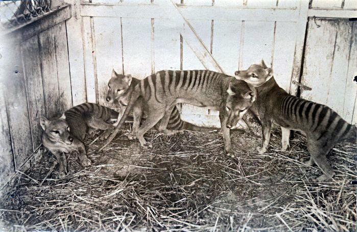 tilacino tigre tasmania animal extinto crias