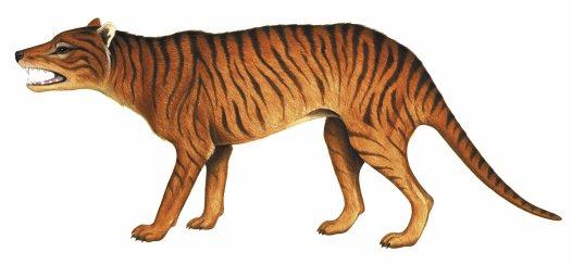 tilacino-tigre-tasmania-animal-extinto-extinguido-T-potens