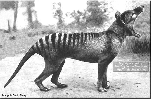 tilacino tigre tasmania animal extinto extinguido