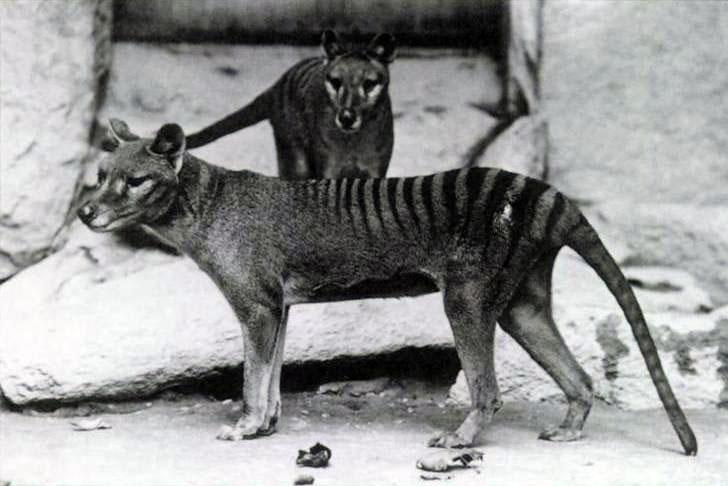tilacino tigre tasmania animal extinto marsupial