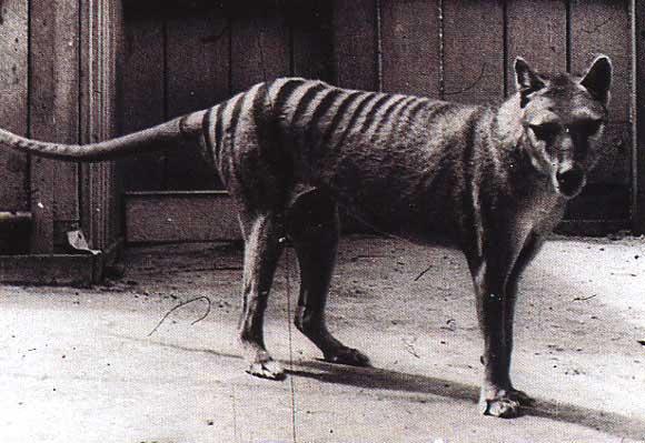 tilacino tigre tasmania marsupial australia