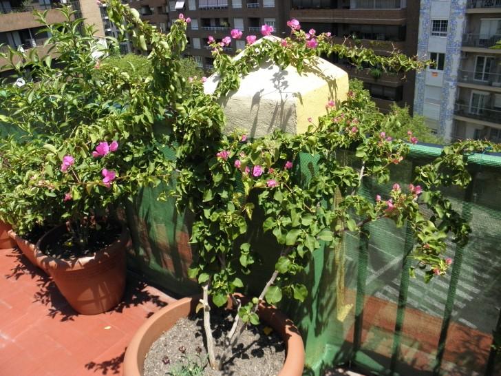 Enredadera Santa Rita planta