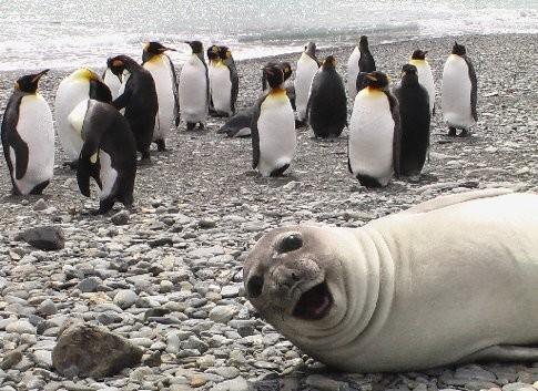 animales humor foca pinguinos