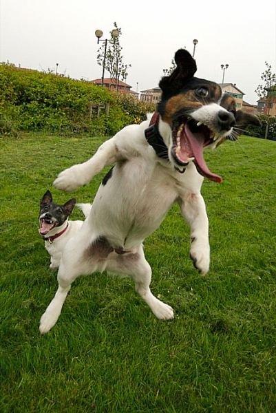 animales humor perro agresivo
