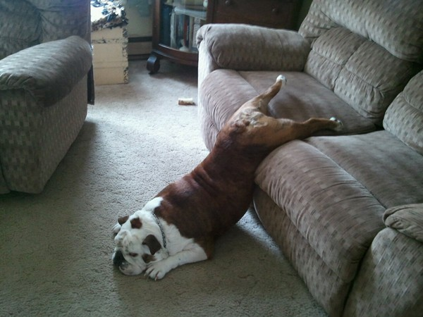animales humor perro sofa bulldog cansado