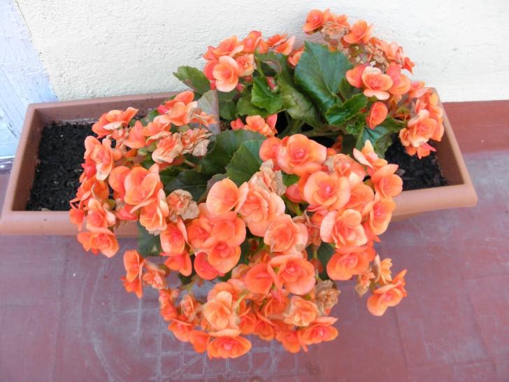 begonias flores naranja