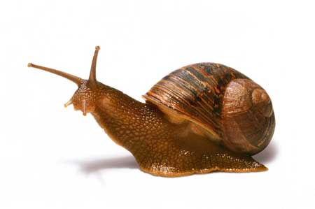 caracol caragol snail