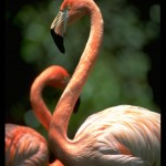 Postales de la naturaleza: El flamenco
