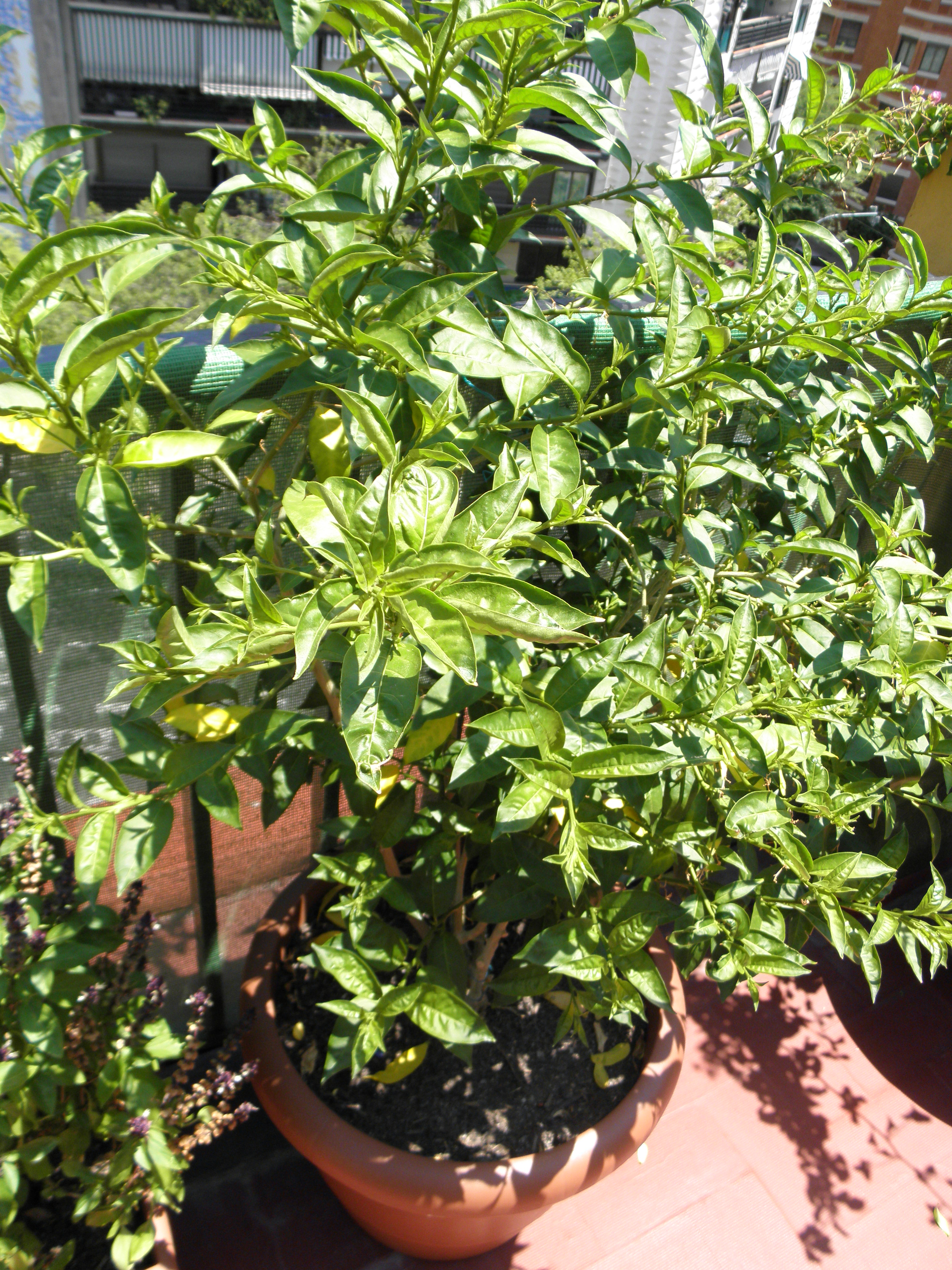 Las plantas de mi terraza junio 2011 blogodisea - Flores de maceta ...
