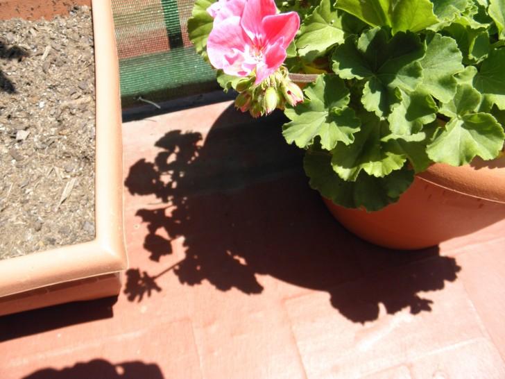geranio rosa maceta
