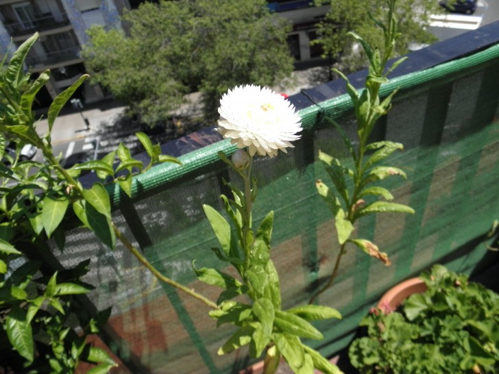 inmortal flores blancas