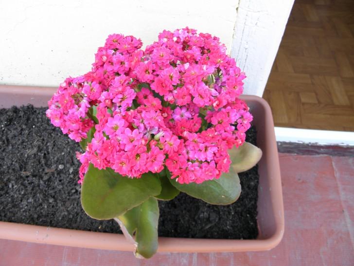 kalanchoes flores rosas