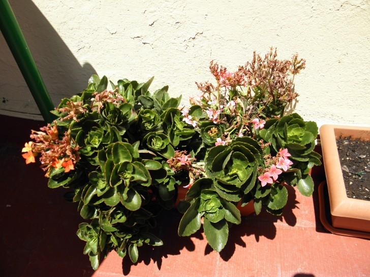 kalanchoes plantas