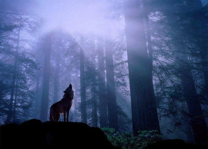 lobo-aullando