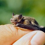 ¿Cuál es el mamífero más pequeño del mundo?