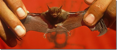 murcielago craseonycteris thonglongyai mamifero mas pequeno