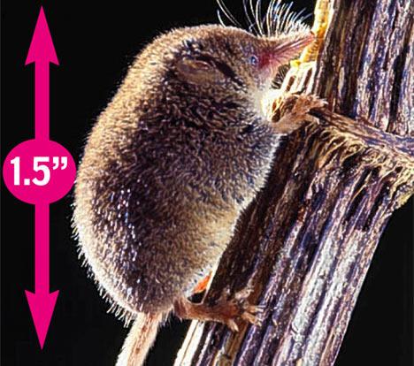 musarana pigmea mamifero mas pequeno