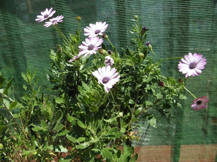 planta flores lilas