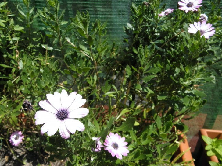 planta flores lilas margarita