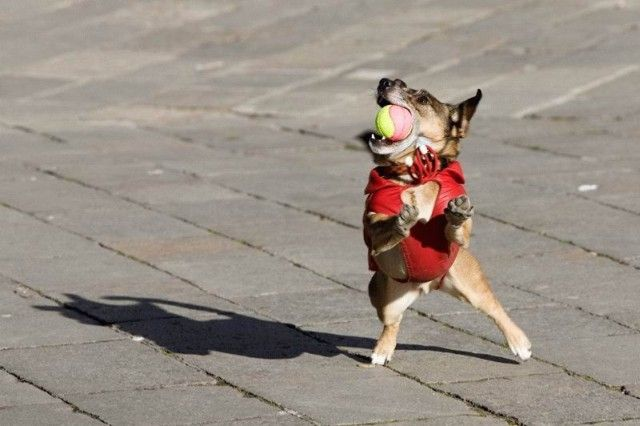 animales-graciosos-perro-catcher