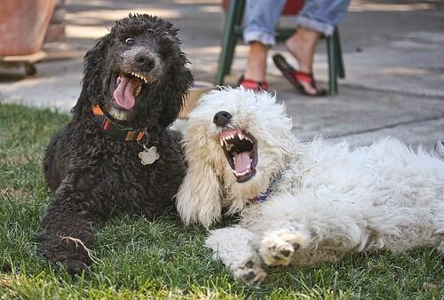 animales-graciosos-perros-agresivos