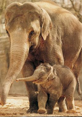 elefante asiatico cria