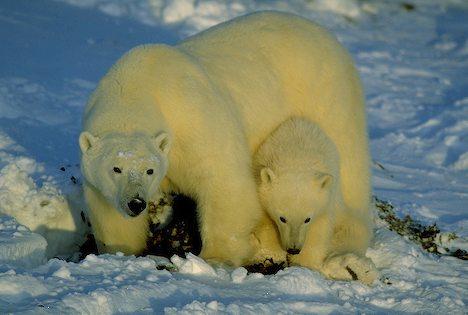 oso polar madre cachorro Ursus maritimus