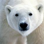 oso polar ursus maritimus mitos